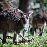 kangaroo market